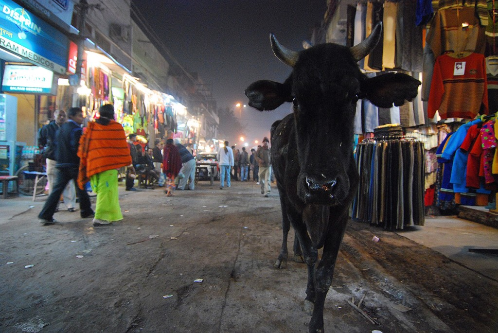 Krowy okażą się nieodłącznym elementem krajobrazu wiejskiego i miejskiego :)