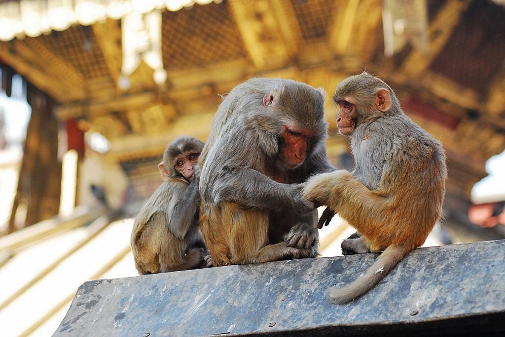 Świątynia małp